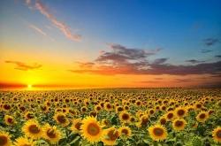 خصوصیات دانه آفتابگردان | موارد مصرف و اهمیت خوراکی تخمه آفتابگردان | مجله سلامت یاثار