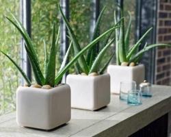 موارد باارزش برایمراقبت  گل و گیاه آپارتمانی آلوئه ورا در آپارتمان | مجله سلامت یاثار