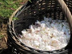 خصوصیات شگفت انگیز روغن یاسمن (Jasmine Oil) | 11 فایده روغن یاسمین | مجله سلامت یاثار