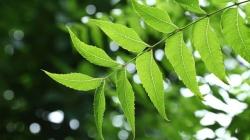 خصوصیات برگ های درخت چریش | برگ چریش چیست و چه خصوصیاتی دارد؟ | مجله سلامت یاثار